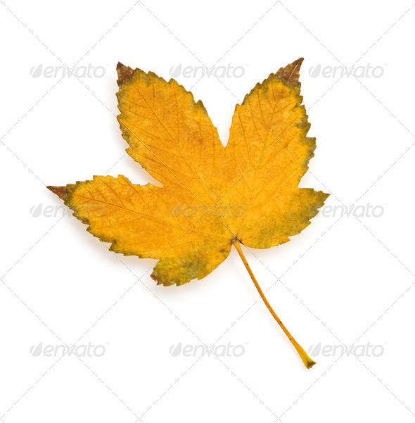 autumn leaf isolated on white - Stock Photo - Images