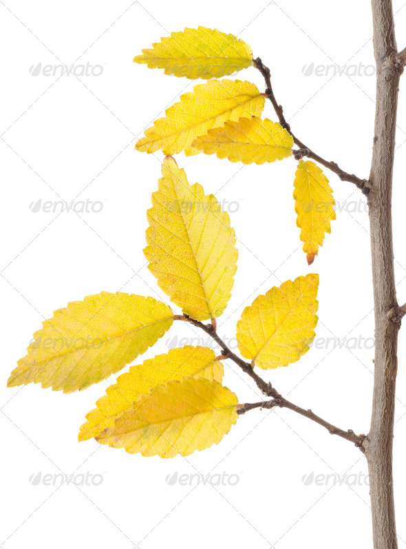 Yellow Autumn Branch - Stock Photo - Images