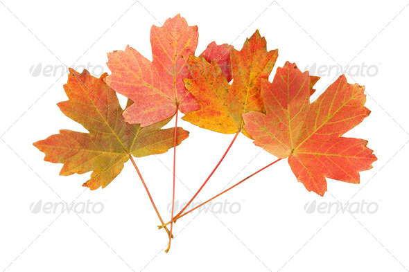 Red maple leaves - Stock Photo - Images