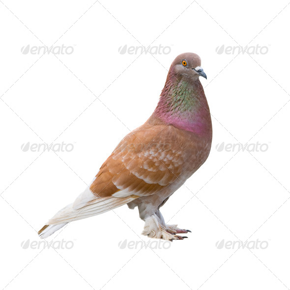 Brown dove - Stock Photo - Images