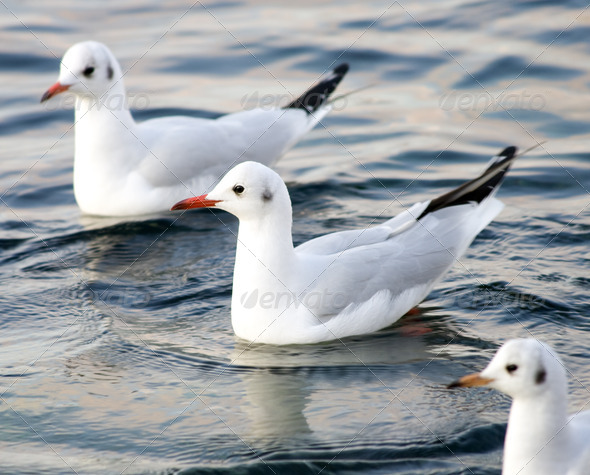 Seagull floating in sea. - Stock Photo - Images