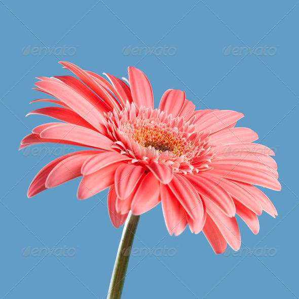 Pink gerbera - Stock Photo - Images