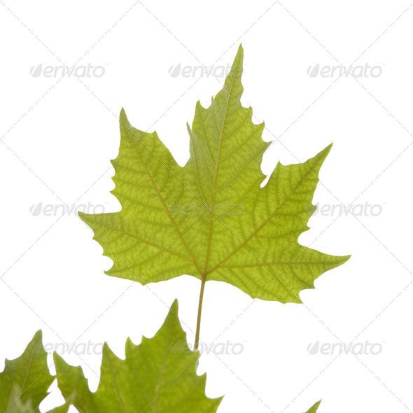 Maple leaf. - Stock Photo - Images