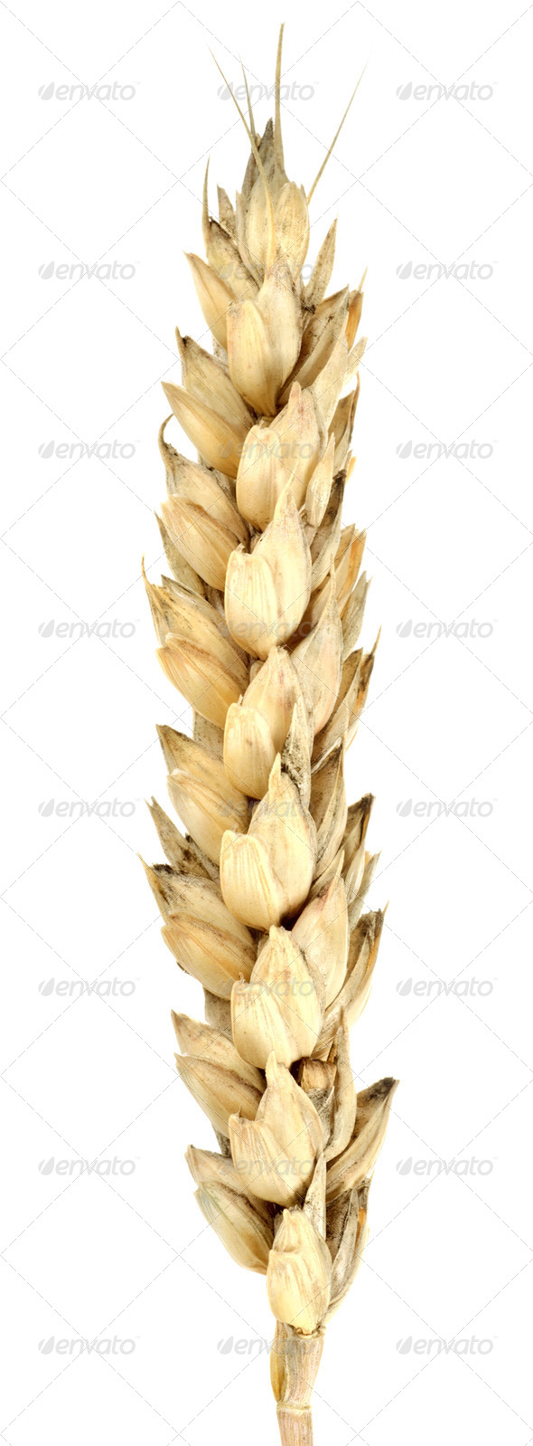 Isolated of wheat - Stock Photo - Images
