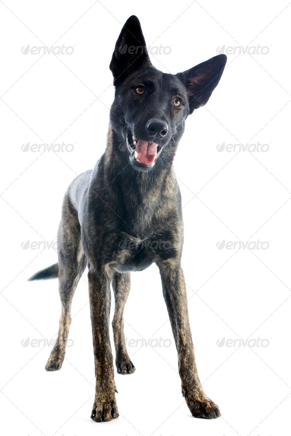 Holland Shepherd - Stock Photo - Images