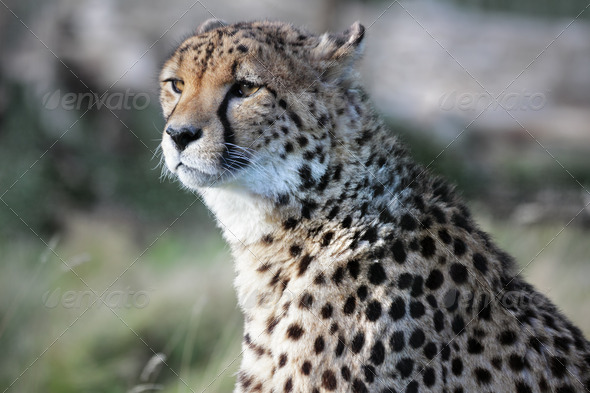 Cheetah - Stock Photo - Images