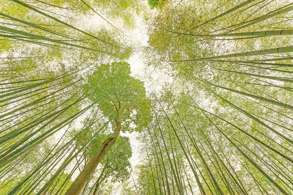 Bamboo Sugar Cane forest and bright sunlight. Toned. - Stock Photo - Images