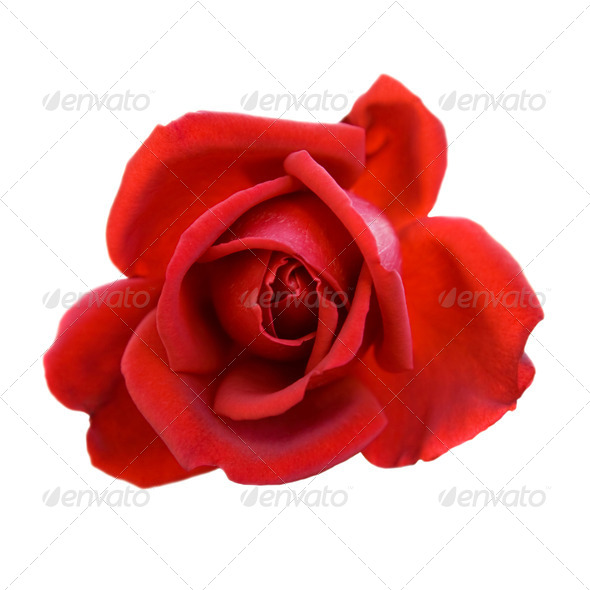 Red rose. Isolated on white background. - Stock Photo - Images