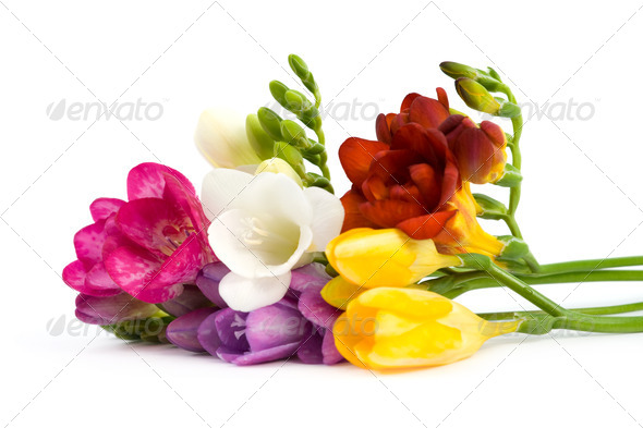 Blooming Freesia. - Stock Photo - Images