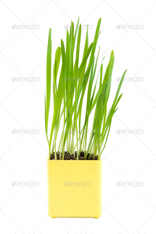 Green grass in the yellow pot - Stock Photo - Images