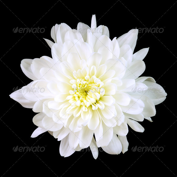 White Chrysanthemum - Stock Photo - Images