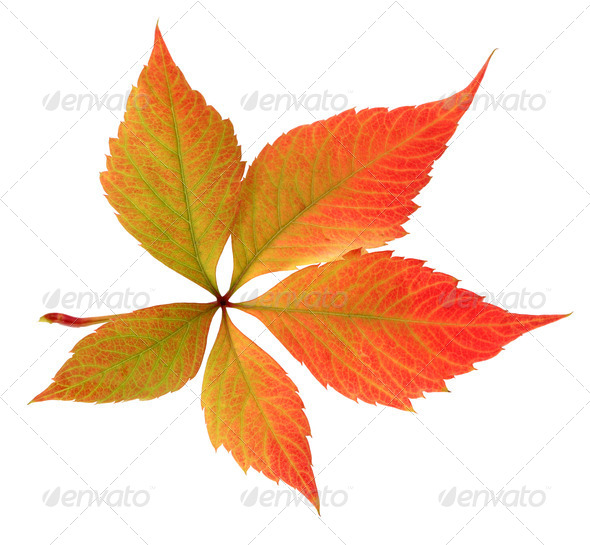 autumn leaf on white background - Stock Photo - Images