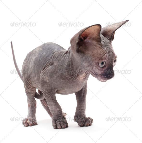 Bald Cat - Stock Photo - Images