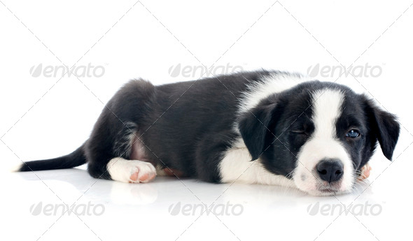 wink of puppy border collie - Stock Photo - Images