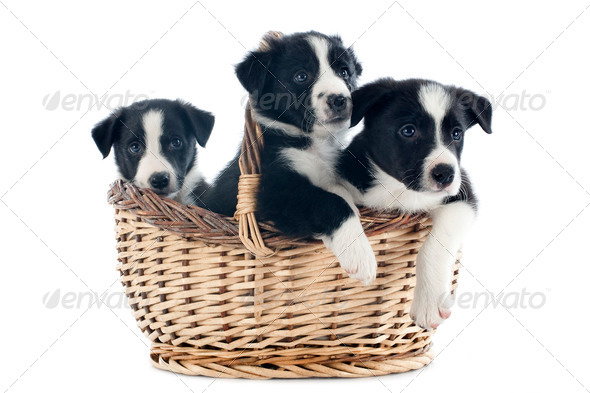 puppies border collies - Stock Photo - Images