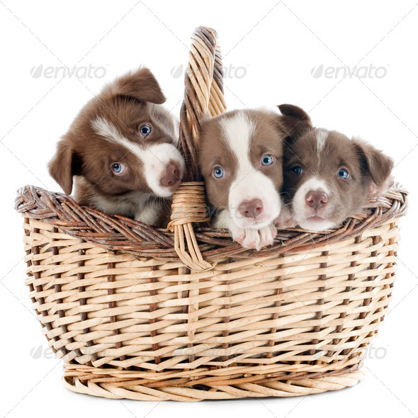 puppy border collie in basket - Stock Photo - Images
