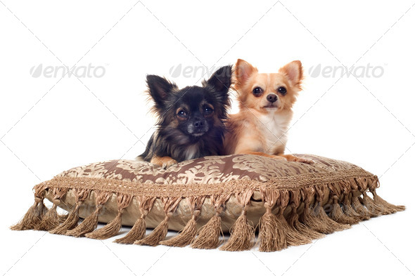 two chihuahuas - Stock Photo - Images