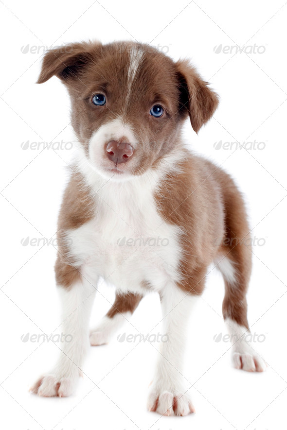 puppy border collie - Stock Photo - Images
