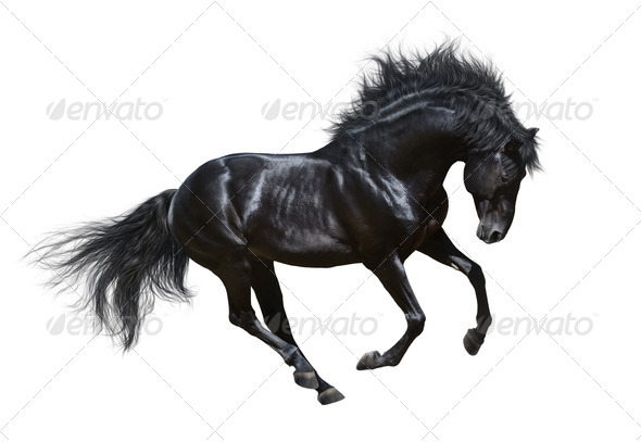 Black Stallion in motion - Isolated on White - Stock Photo - Images