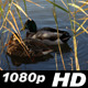 Nature Duck - VideoHive Item for Sale