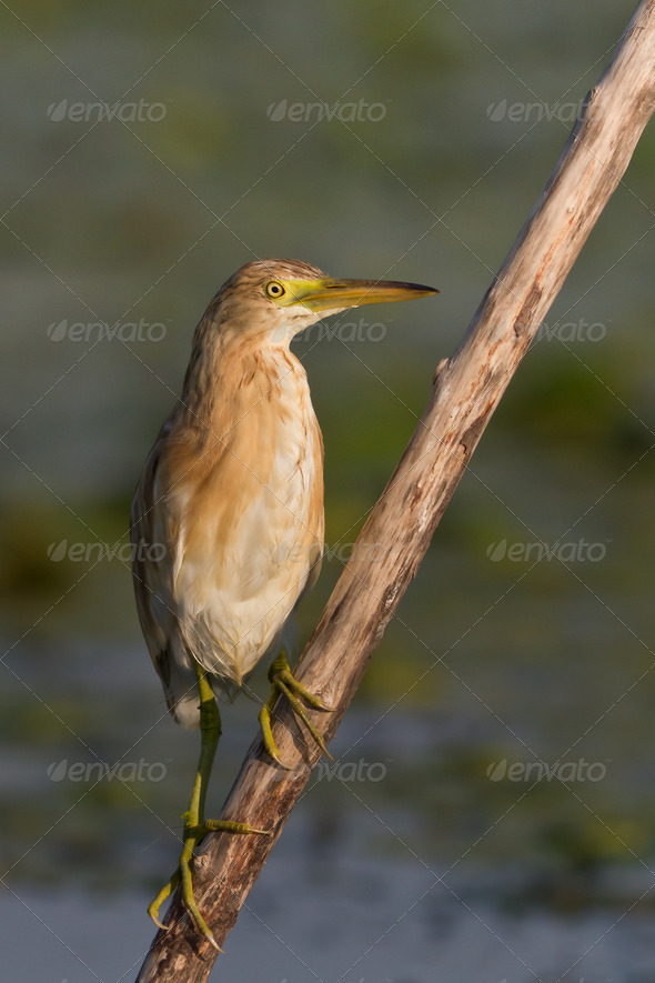 Squacco Heron (Ardeola ralloides)  - Stock Photo - Images