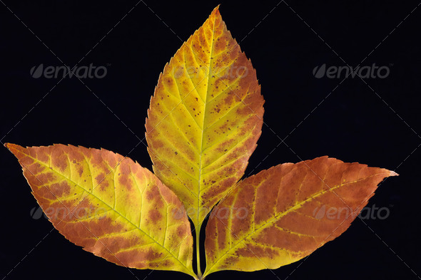 autumn leafs - Stock Photo - Images