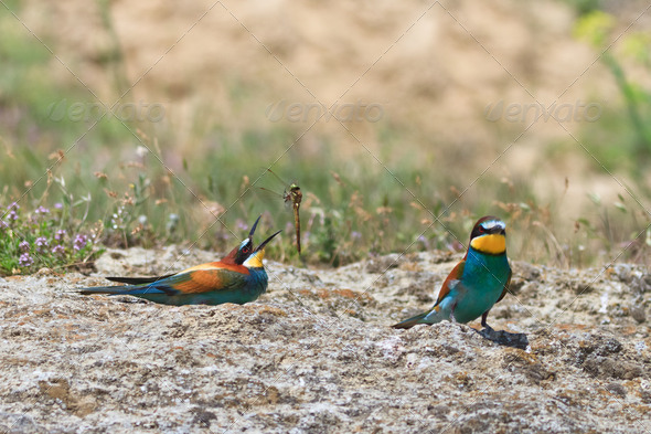 european bee eater  - Stock Photo - Images