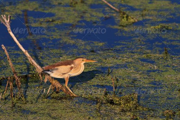Little Bittern (Ixobrichus minutus)  - Stock Photo - Images