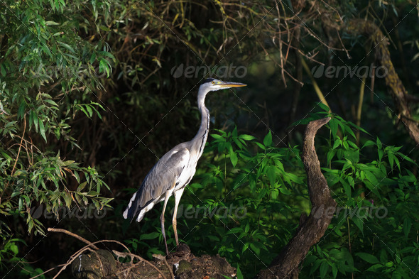 grey heron (ardea cinerea) - Stock Photo - Images