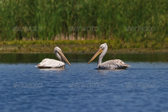 Dalmatians Pelicans (Pelecanus crispus)  - Stock Photo - Images