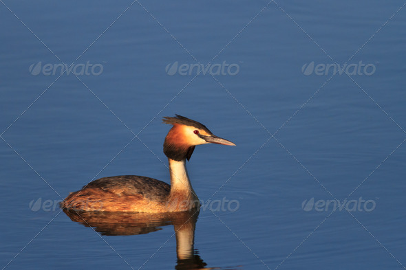 Great crested grebe - Stock Photo - Images