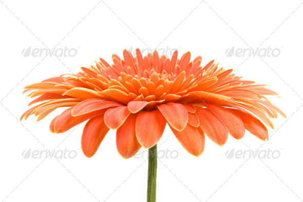 Orange Gerbera - Stock Photo - Images