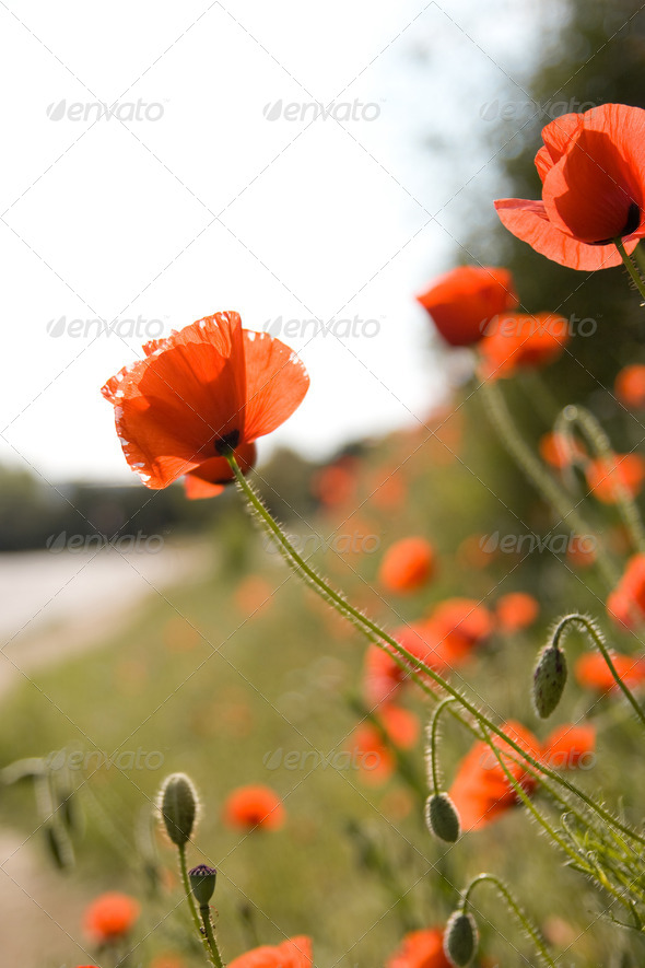 Red poppy - Stock Photo - Images