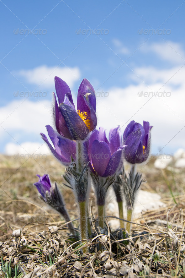 Flowers Pulsatilla patens - Stock Photo - Images