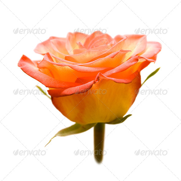 Rose. - Stock Photo - Images