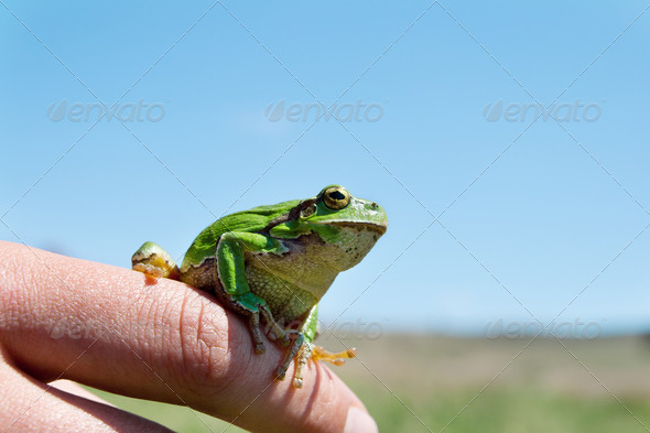 Green frog - Stock Photo - Images