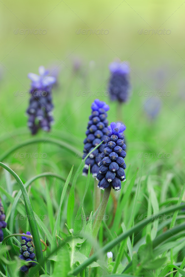 Blue hyacinth flowers - Stock Photo - Images