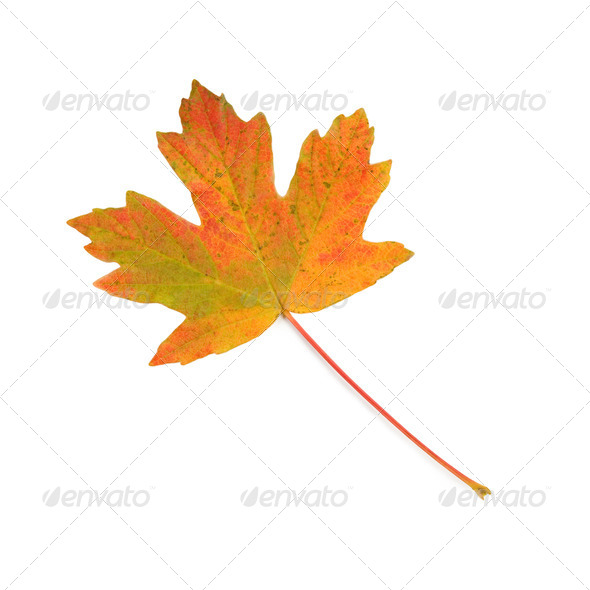 Colorful maple leaf. - Stock Photo - Images