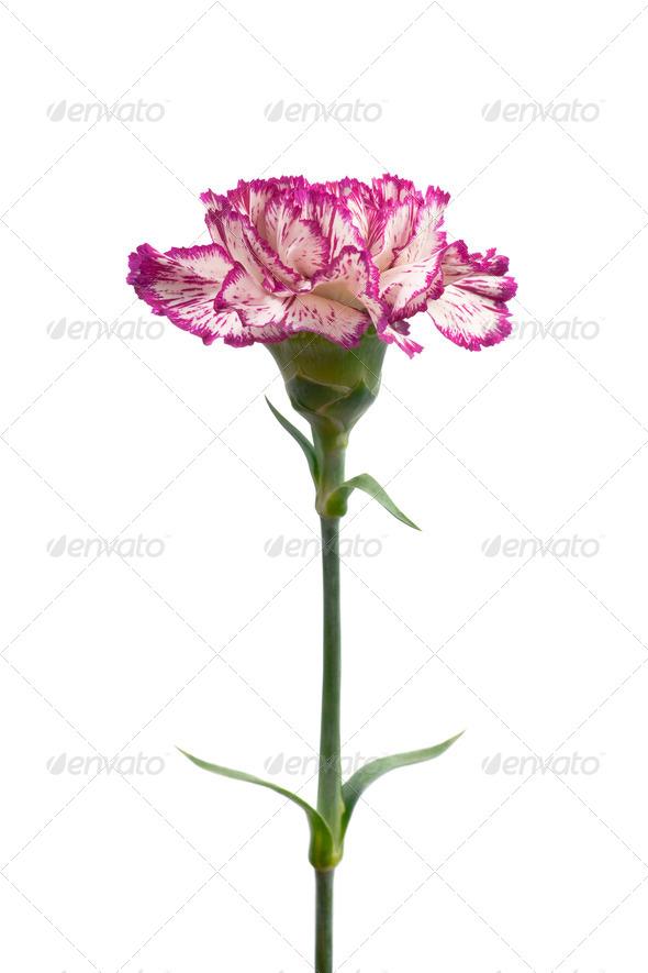 Carnation. - Stock Photo - Images
