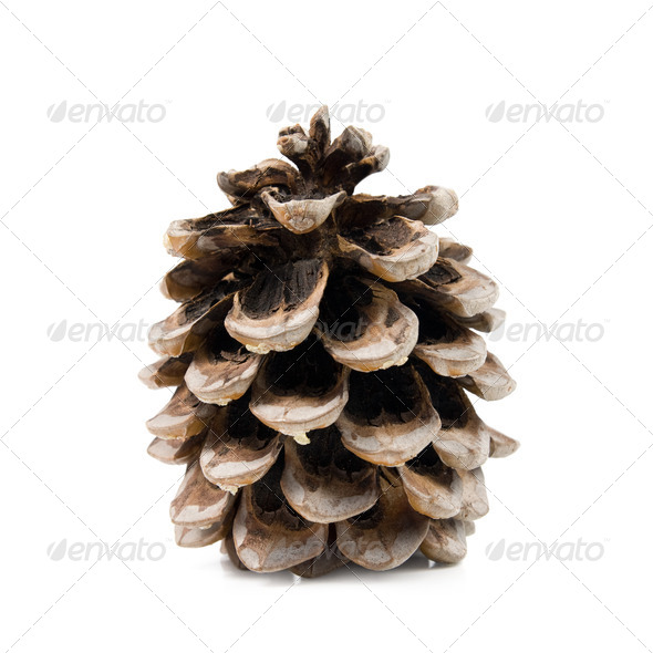 Cedar cones. - Stock Photo - Images