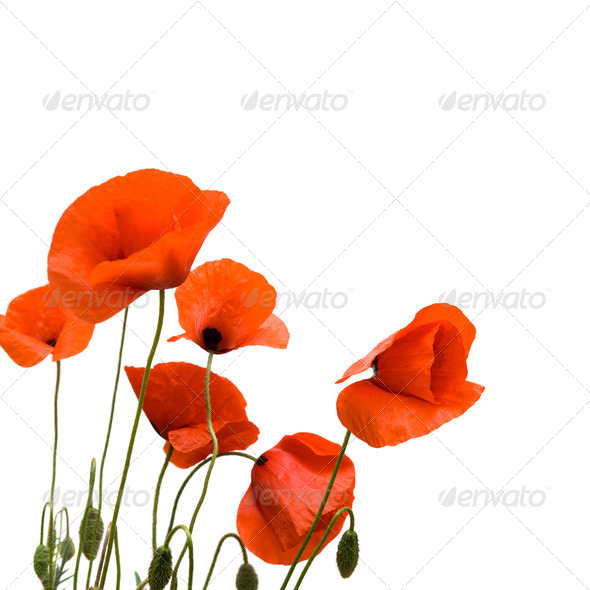 Red poppies. - Stock Photo - Images
