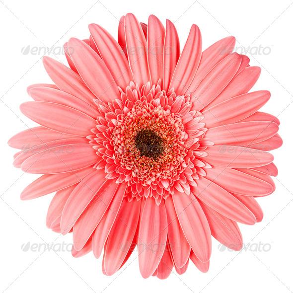 Pink gerbera - Stock Photo - Images