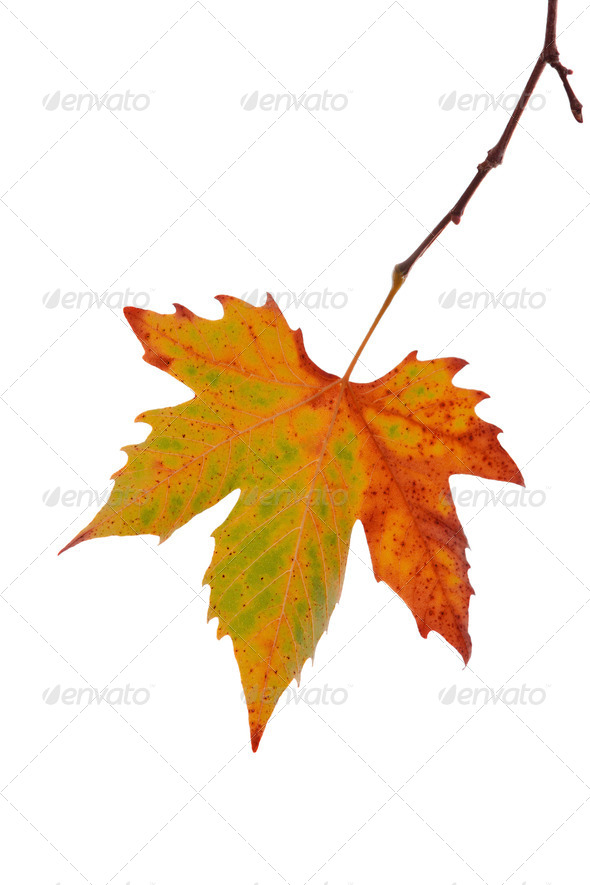 Autumn maple leaf - Stock Photo - Images
