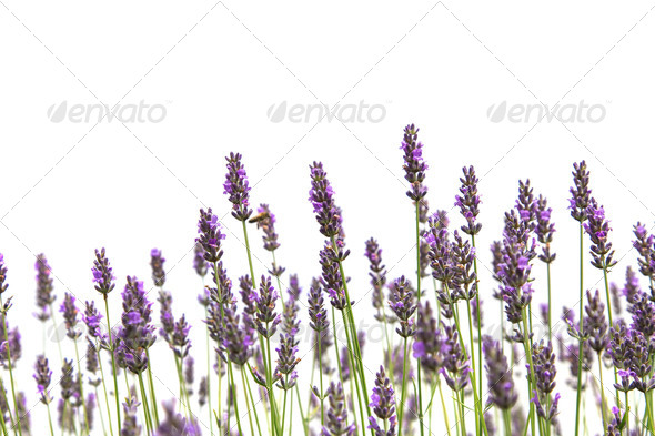 Purple lavender flowers - Stock Photo - Images