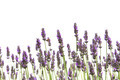 Purple lavender flowers - PhotoDune Item for Sale