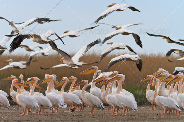 pelicans in the Danube Delta - Stock Photo - Images