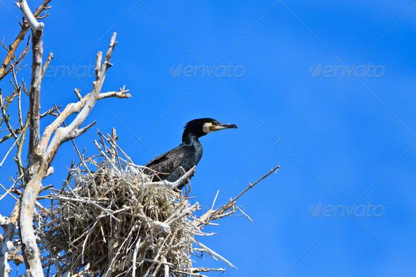 cormorant (phalacrocorax carbo ) on nest  - Stock Photo - Images