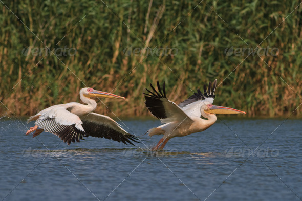 white pelicans in flight - Stock Photo - Images