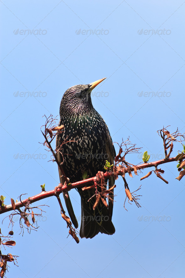 starling bird (sturnus vulgaris) - Stock Photo - Images