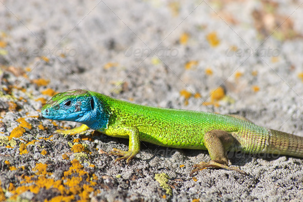green lizard - Stock Photo - Images